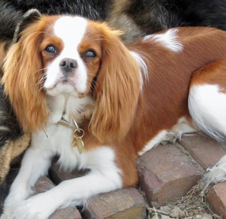 Daisy the Cavalier King Charles Spaniel  Pictures 426960