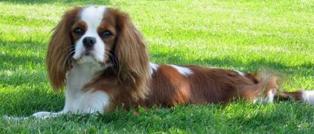 Daisy the Cavalier King Charles Spaniel  Pictures 426962