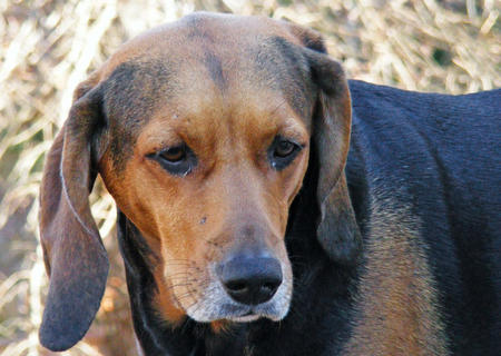 Daisy the Coonhound Pictures 861147