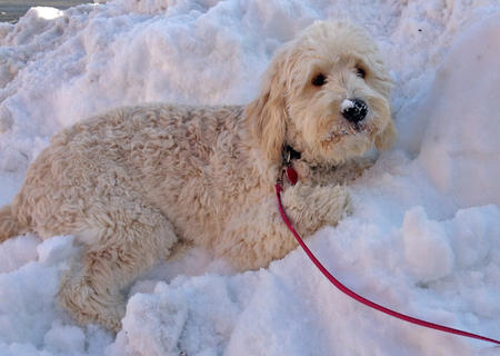 Daisy the Goldendoodle Pictures 950168