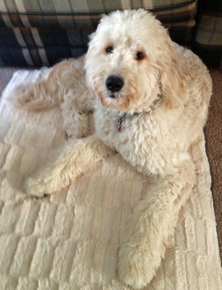 Daisy the Goldendoodle Pictures 950169