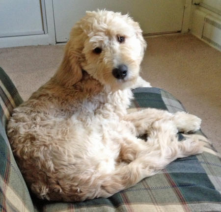 Daisy the Goldendoodle Pictures 950170