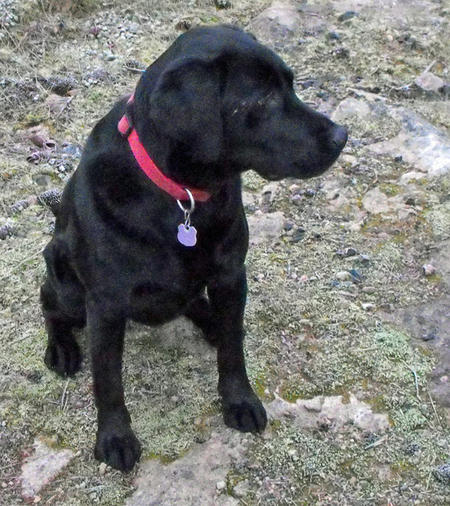 Daisy the Labrador Retriever Mix Pictures 453699