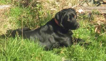 Daisy the Labrador Retriever Mix Pictures 453700