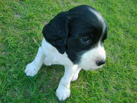 Dakota the English Springer Spaniel Pictures 959136
