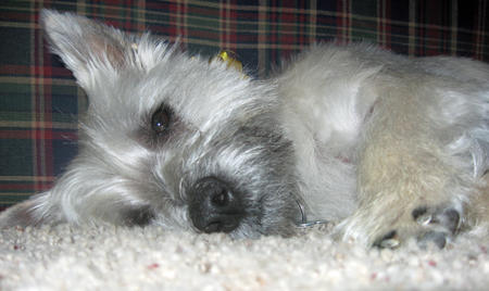 Dana the Cairn Terrier Pictures 905015