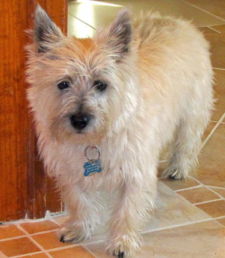 Dana the Cairn Terrier Pictures 905018