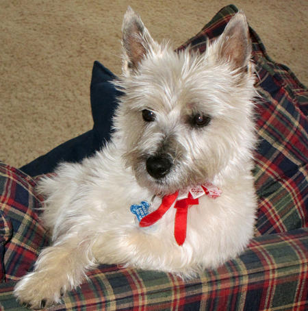 Dana the Cairn Terrier Pictures 905014
