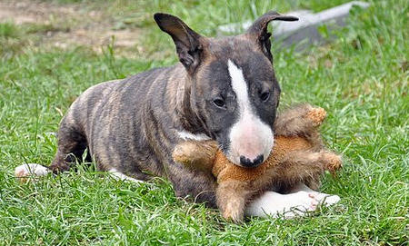 Daphne the Bull Terrier Pictures 636380