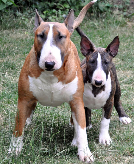 Daphne the Bull Terrier Pictures 636383