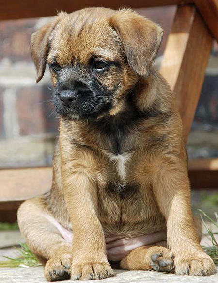 Darcy the Border Terrier Pictures 409115