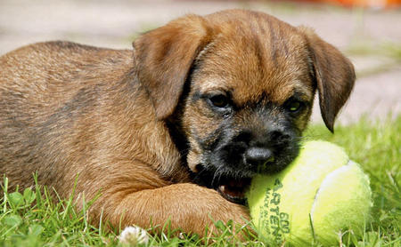 Darcy the Border Terrier Pictures 409116