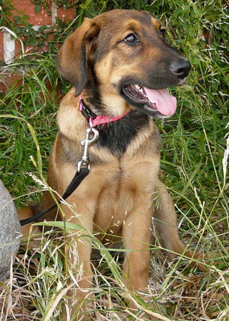 Darla the Adoptable Shepherd Mix Puppy Pictures 618124