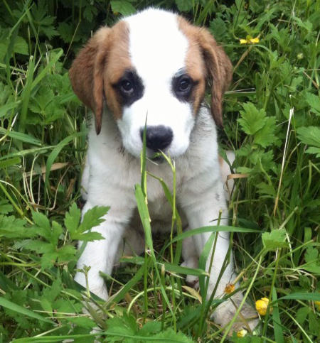 Darla the Saint Bernard Pictures 821575