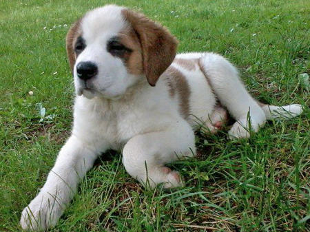Darla the Saint Bernard Pictures 821578