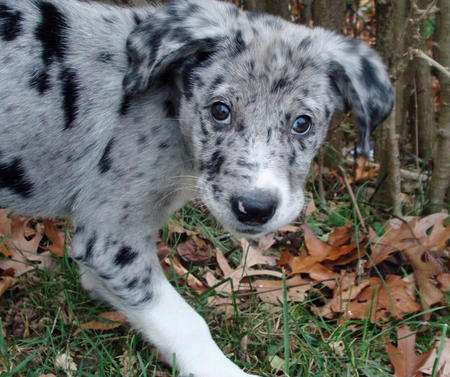 Data the Catahoula Leopard Dog Pictures 704225