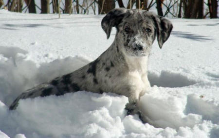 Data the Catahoula Leopard Dog Pictures 704226