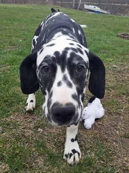 Data the Dalmatian   Pictures 1020419