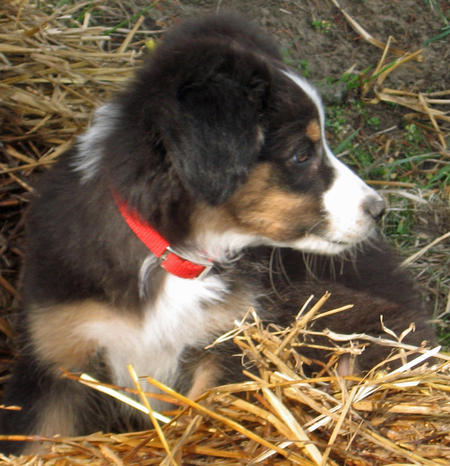 Datsyuk the Australian Shepherd Pictures 577114