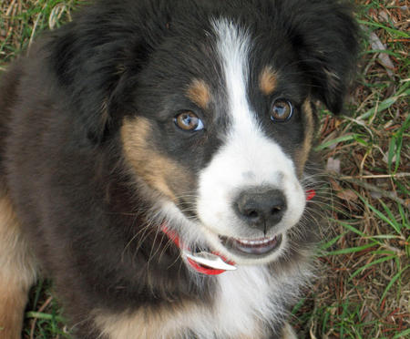 Datsyuk the Australian Shepherd Pictures 577115