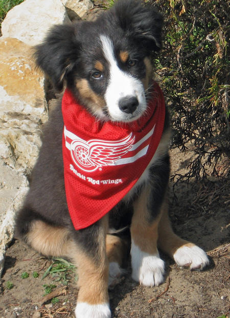 Datsyuk the Australian Shepherd Pictures 577116