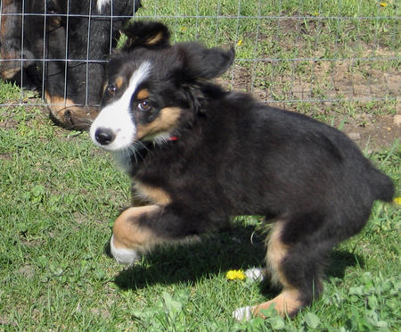 Datsyuk the Australian Shepherd Pictures 577117