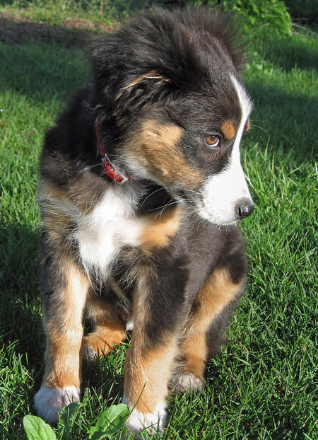 Datsyuk the Australian Shepherd Pictures 577118