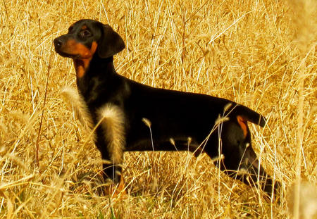 Dax the Doberman Pinscher Pictures 995212
