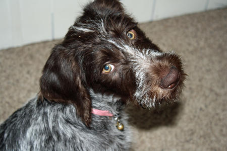 Dazie Loo the German Wirehaired Pointer Pictures 1041711