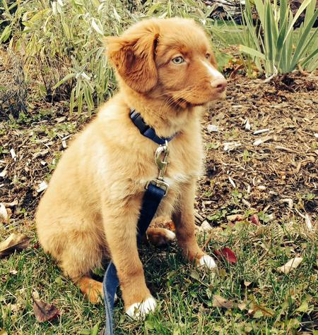 Decker the Nova Scotia Duck Tolling Retriever Pictures 991685