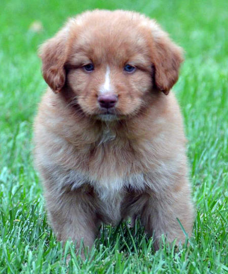 Decker the Nova Scotia Duck Tolling Retriever Pictures 991688