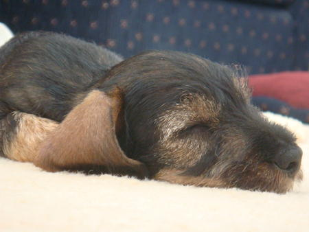Declan the Miniature Dachshund Pictures 721462