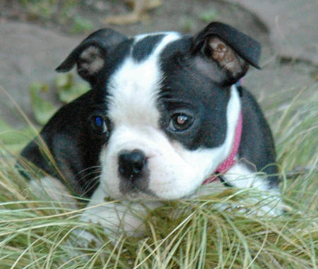 Delilah the Boston Terrier Pictures 1048126