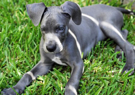 Delilah the Great Dane Pictures 478503