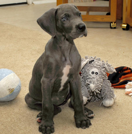 Delilah the Great Dane Pictures 478504