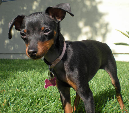 Delilah the Miniature Pinscher Pictures 780161
