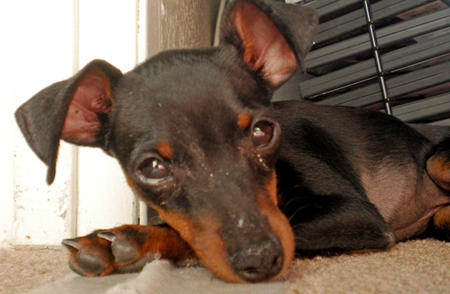 Delilah the Miniature Pinscher Pictures 780163