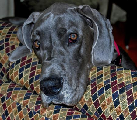 Dembe the Great Dane Pictures 584016