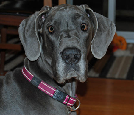 Dembe the Great Dane Pictures 584020