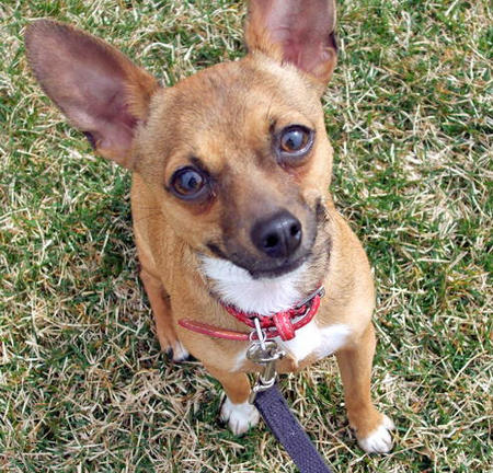 Deno the Rat Terrier Pictures 779049