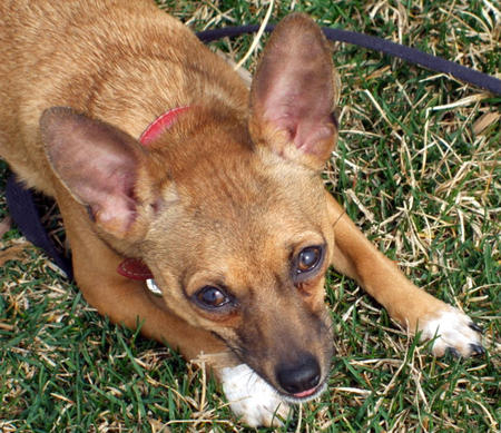 Deno the Rat Terrier Pictures 779051