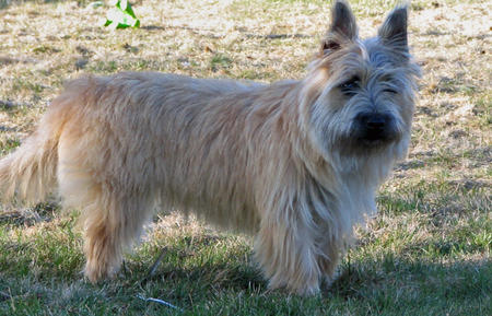 Desi the Cairn Terrier Pictures 448864