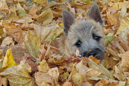 Desi the Cairn Terrier Pictures 448862