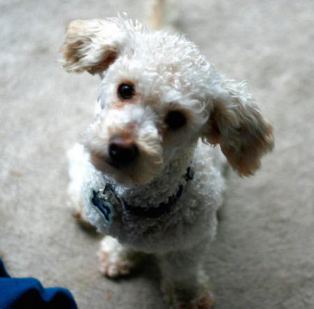 Dewey the Poodle Mix Pictures 690530