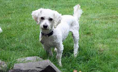 Dewey the Poodle Mix Pictures 690528