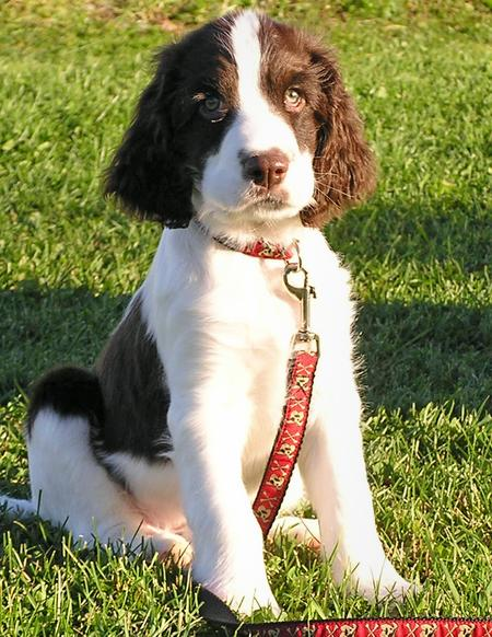 Dexter the English Springer Spaniel  Pictures 581394