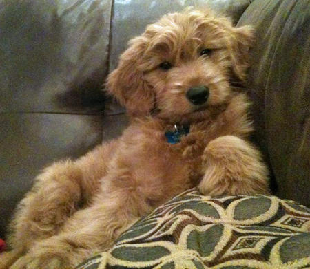 Dexter the Goldendoodle Pictures 656855