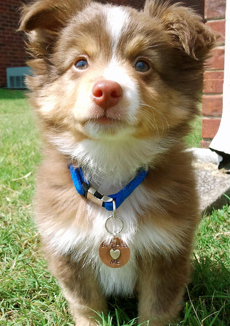 Dexter the Miniature Australian Shepherd  Pictures 817192