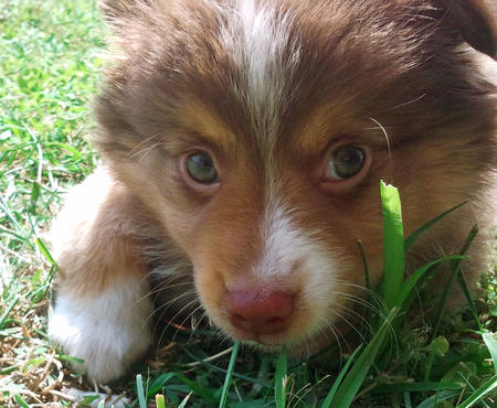 Dexter the Miniature Australian Shepherd  Pictures 817193