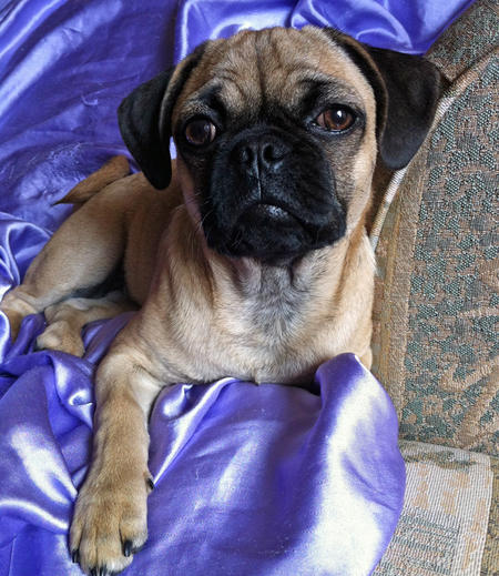 Dexter the Pug Mix Pictures 957972